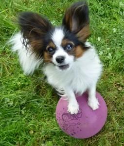 Trick Minihund